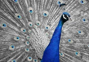 Pixabay Image of a Peacock